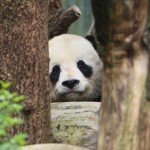 Panda bear in zoo